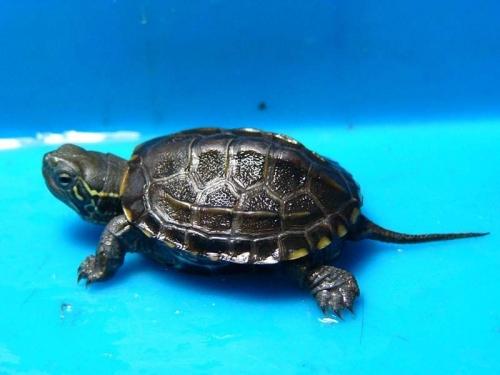 宠物 好看 种类/宠物龟的种类主要有密西西比红耳龟、黄喉水龟、缅甸陆龟、鳄龟...